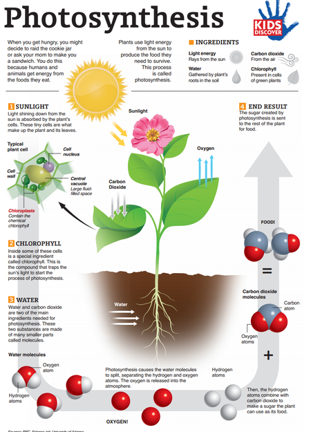 used in photosythesis How does photosynthesis work follow our simple guide for students to learn more about the process of photosynthesis, where plants use energy from the sun to make.