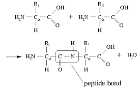 difference between lytic and lysogenic cycle pdf