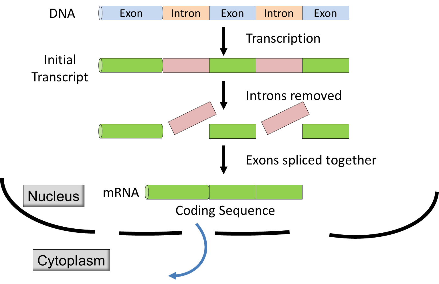 introns and exons Start studying introns and exons learn vocabulary, terms, and more with flashcards, games, and other study tools.