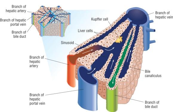 The liverpptx on emaze glucose minerals vitamins blood borne toxins for detox ccuart Gallery