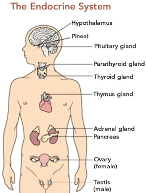 Diagram Of Endocrine System. Diagram. Free Database Wiring Diagram ...