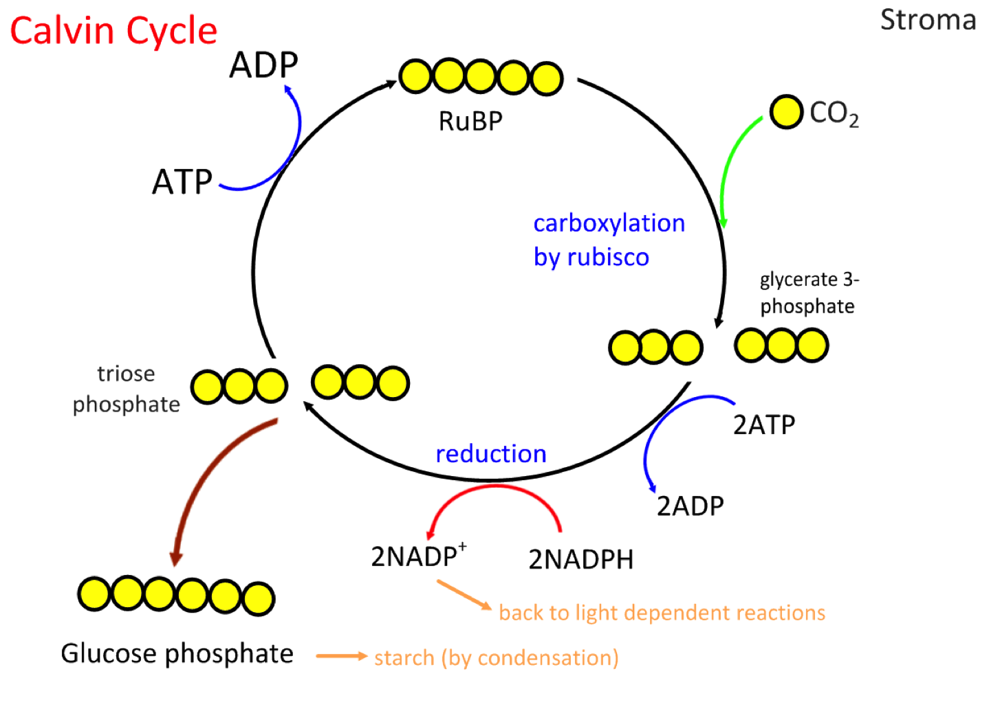 Calvin cycle photosynthesis animation Diffrents degrs - Brlure