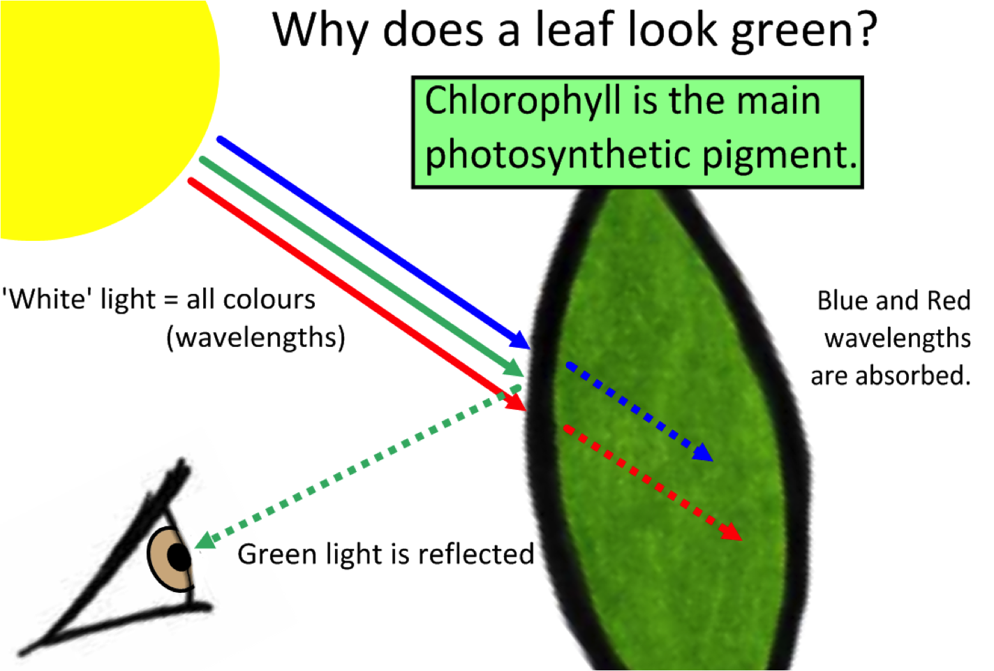 What is the Main photosynthetic pigment of green plants