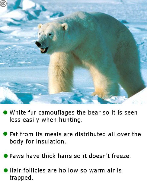 the polar bear and adaptations The polar bear (ursus maritimus) is the world's largest landcarnivore and also the largest bear the polar bear has many bodycharacteristics adapted.