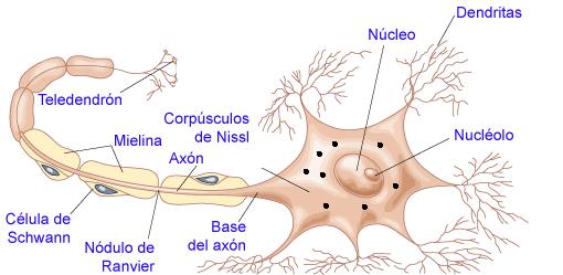 Modulo 10 Regulación Nerviosa