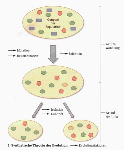 Variabilität Evolution
