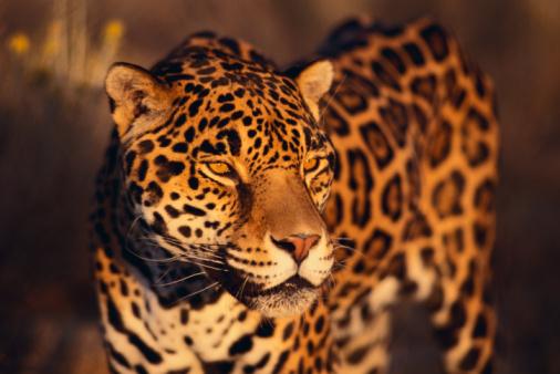 Wonderful All About Jaguars