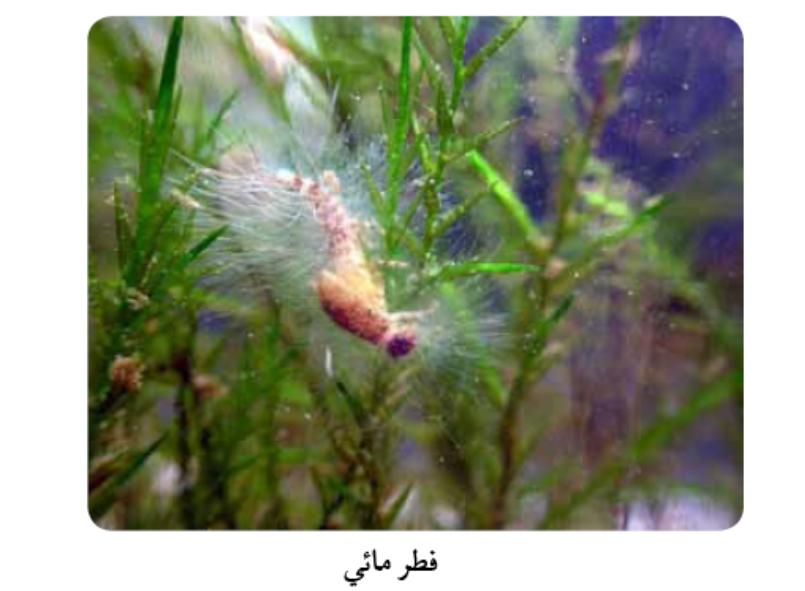 دورة حياة الطحالب By Dina D85 On Emaze