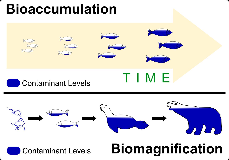 Essay about biomagnification