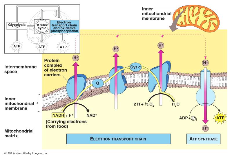 Chemiosmosis Diagram For A Simple A Diy Wiring Diagrams