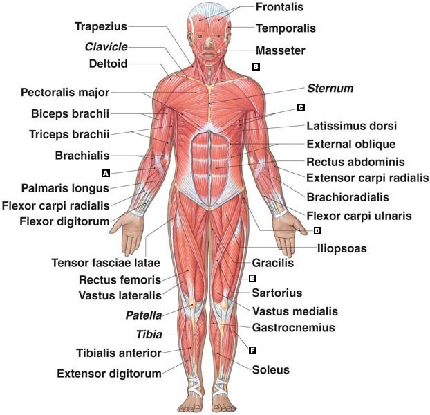 the muscular system on emaze, Human Body