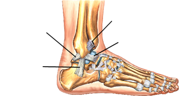 Atr Ankle Foot Anatomy On Emaze