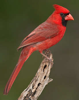 north carolinas state bird is the grosbeak cardinal