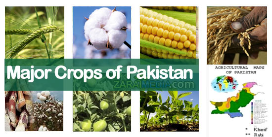 cash crop of pakistan Cotton is another major cash crop in pakistan and is the main source of raw material to the local textile industry.