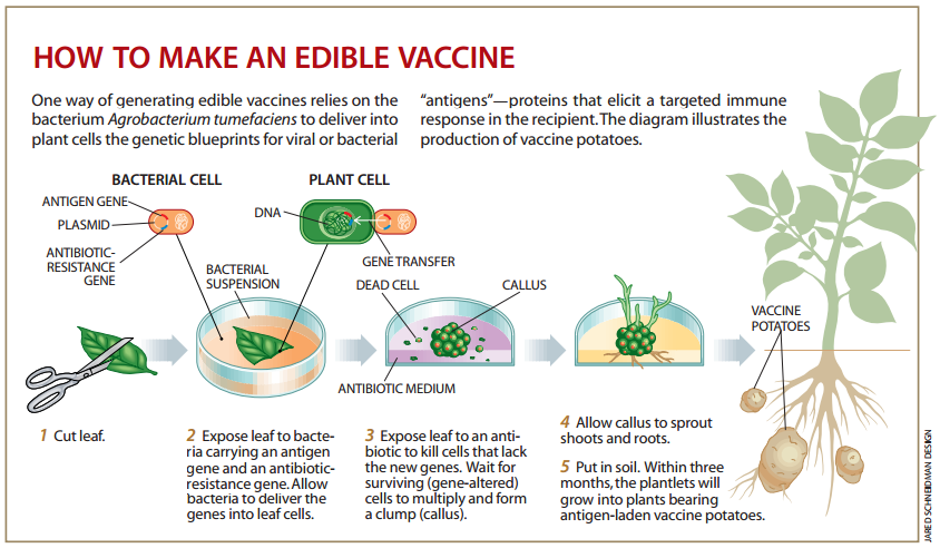 edible vaccine research paper While most research conducted on edible the authors alone are responsible for the content and writing of this paper a rice based edible vaccine.