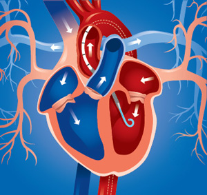 Lungs: Oxygenated Blood From The Lungs Is Received By The