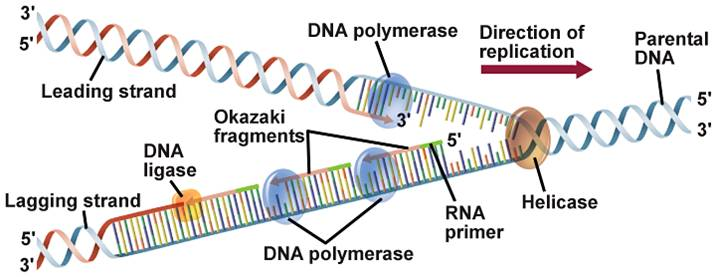Diagram The Process Of Dna Replication Diy Enthusiasts Wiring