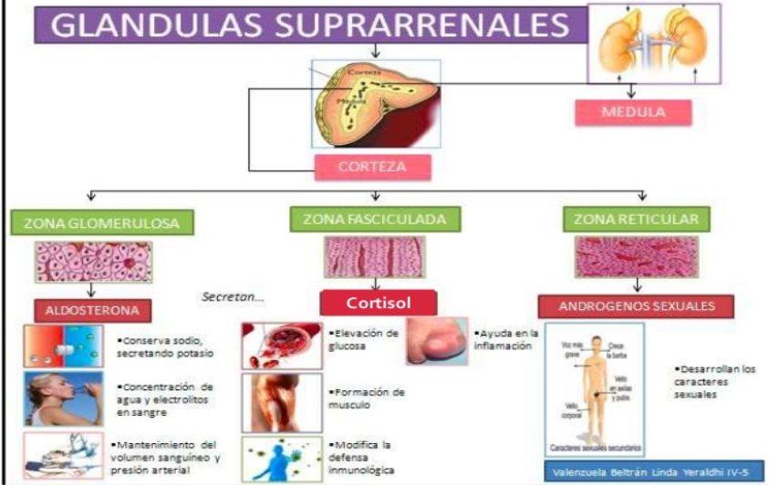 Cuales Son Las Hormonas Producidas Por La Corteza De Las Glándulas ...