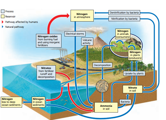 negative consequences of humans interference in the nitrogen cycle The global nitrogen cycle: changes and consequences author links open overlay panel james n galloway show more  nitrogen cycle pre-human world  (1998) and erisman et al (1998) have reviewed the negative effects of n ranging from impacts on humans and ecosystems to atmospheric processes the literature on these effects is extensive.