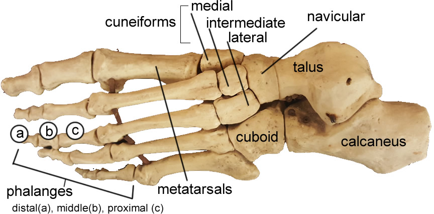 Skeletal anatomy foot 1688998 - follow4more.info