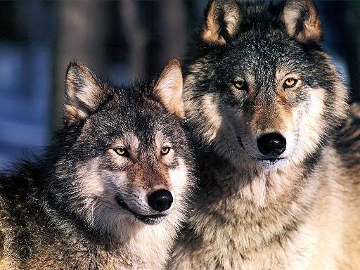 Alpha male and female wolves
