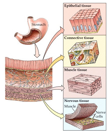 Cells to Organ Systems on emaze