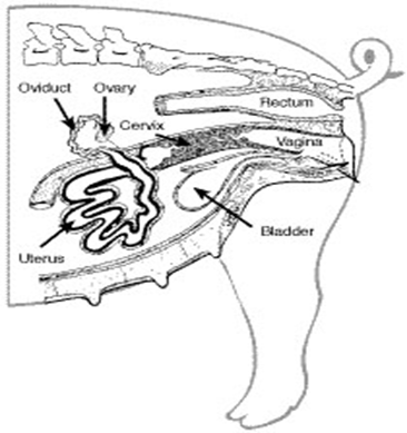 Reproductor De La Hembra also Littlewhitelion likewise 11846 likewise File Anatomy and physiology of animals Female reproductive organs of a bird moreover Testis Development. on male en reproductive system