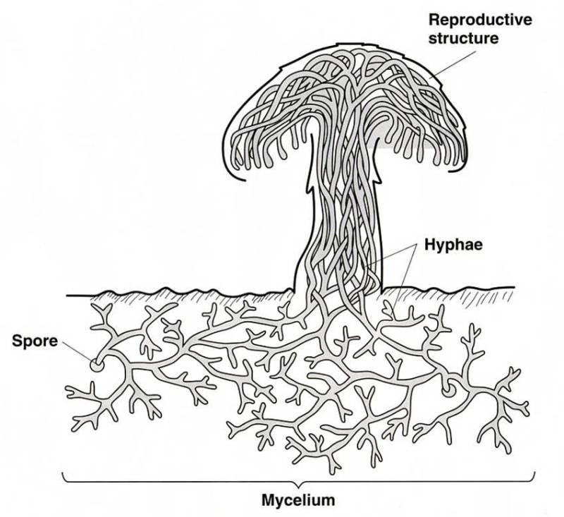 Мицелий гриба что это такое