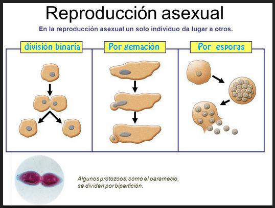 Asexualmente