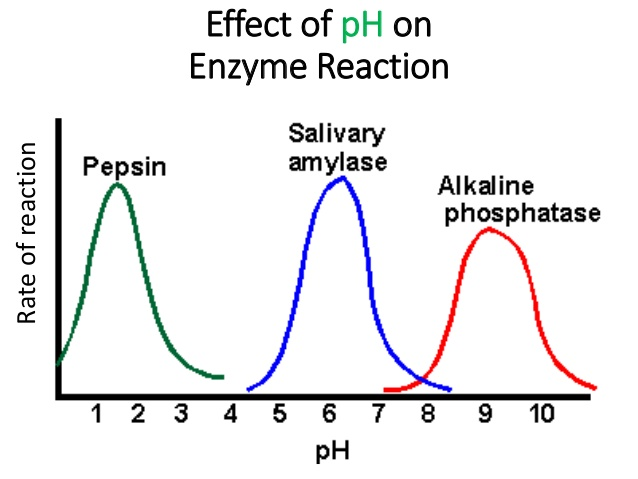 the effect of ph on the activity The variation of activity with ph, within a range of 2-3 units each side of the pi, is normally a reversible process extremes of ph will, however, cause a time- and temperature-dependent, essentially irreversible, denaturation.