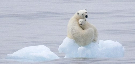 Image result for polar bears and climate change