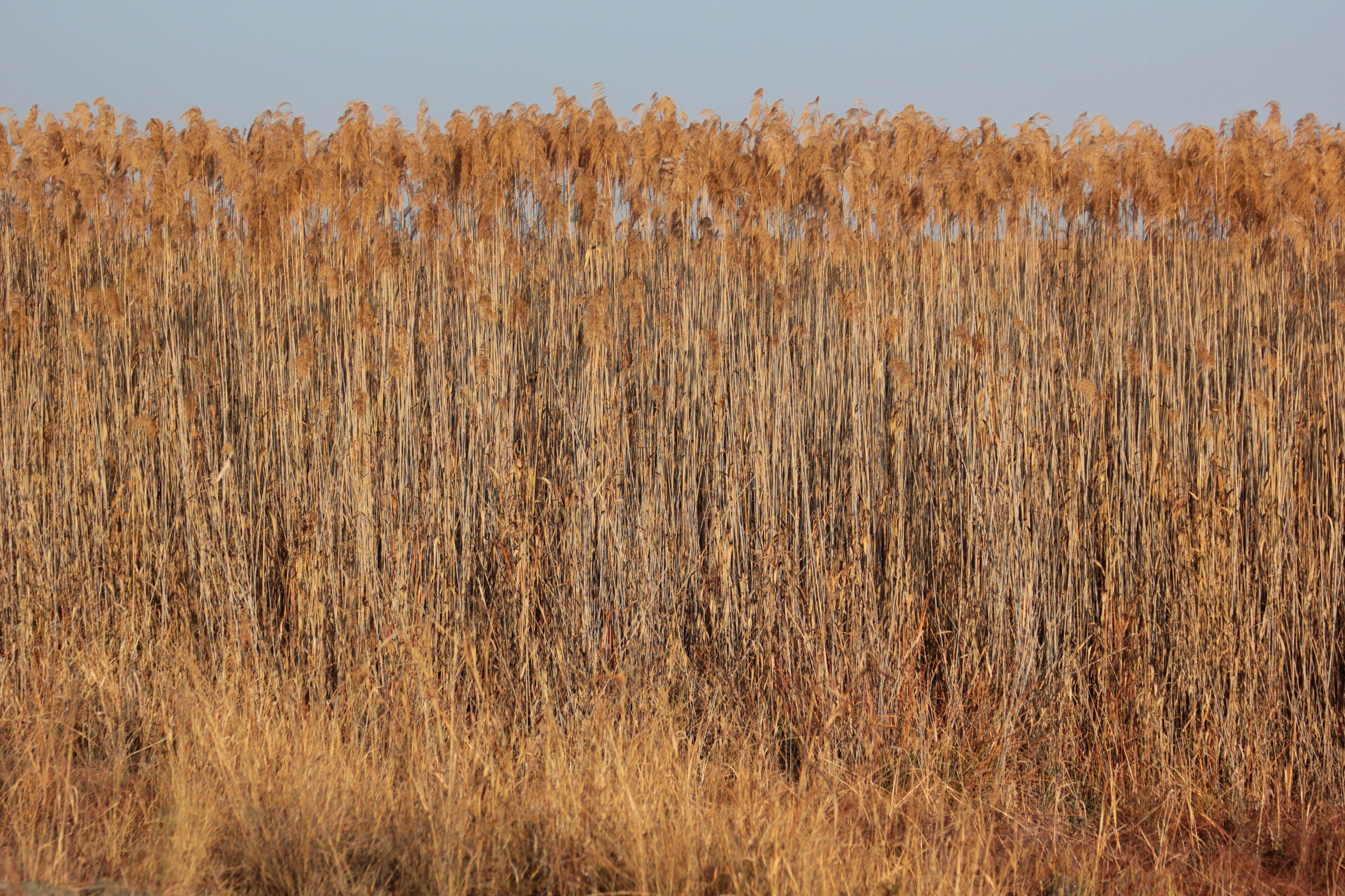 How does Savannah grass grow in the wet season?