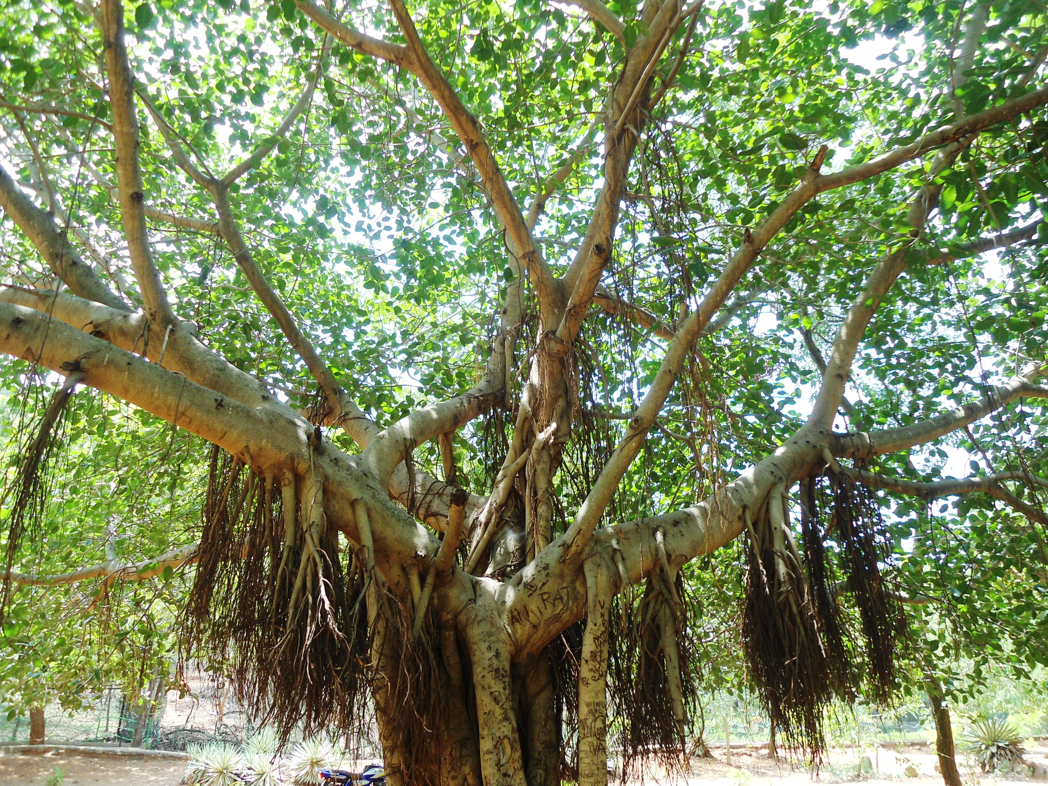 Ficus Benghalensis on emaze