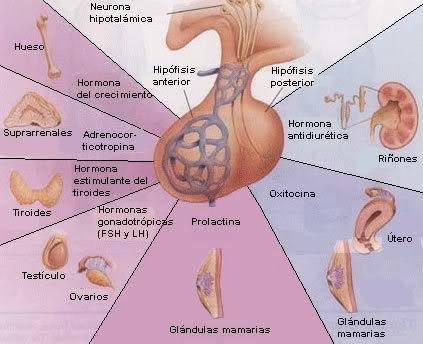 Biología solo para ti: Anatomia y Fisiologia del Sistema Endocrino