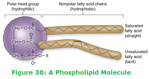 Image result for phospholipid