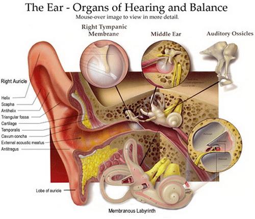 The Ear Hearing And Balance Worksheet Photos Getadating – Ear Diagram Worksheet
