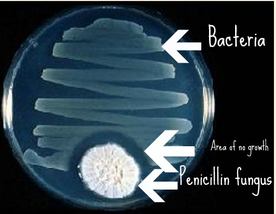 penicillin bacteria and considerably shorter lifespan Microbiome in the drosophila gut and to a lesser extent of acido-philic bacteria with antibiotics had a shorter lifespan than flies raised.