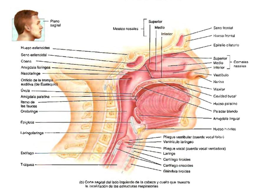 Moderno Sistema Respiratorio Superior Galería - Imágenes de Anatomía ...