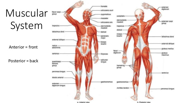 Science Digestive Muscular And Skeletal System On Emaze