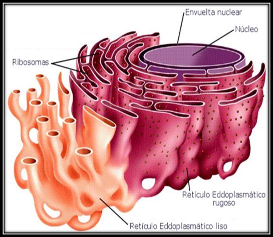Reticulo Endoplasmatico Liso