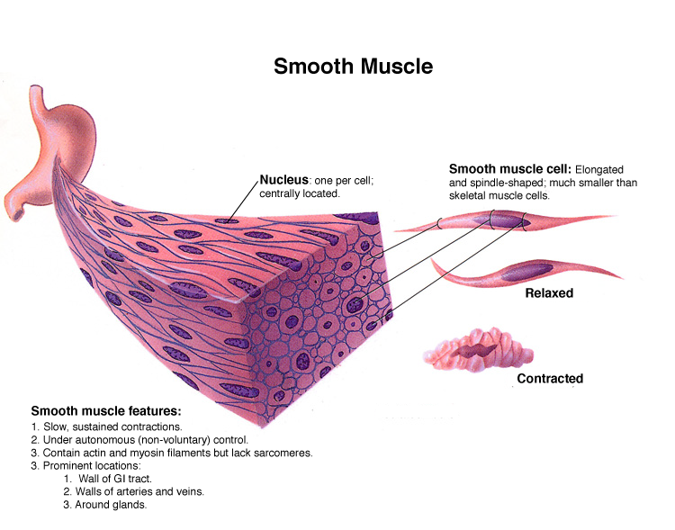 smooth muscle definition – applecool, Cephalic Vein