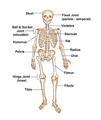 the skeletal system, Human body