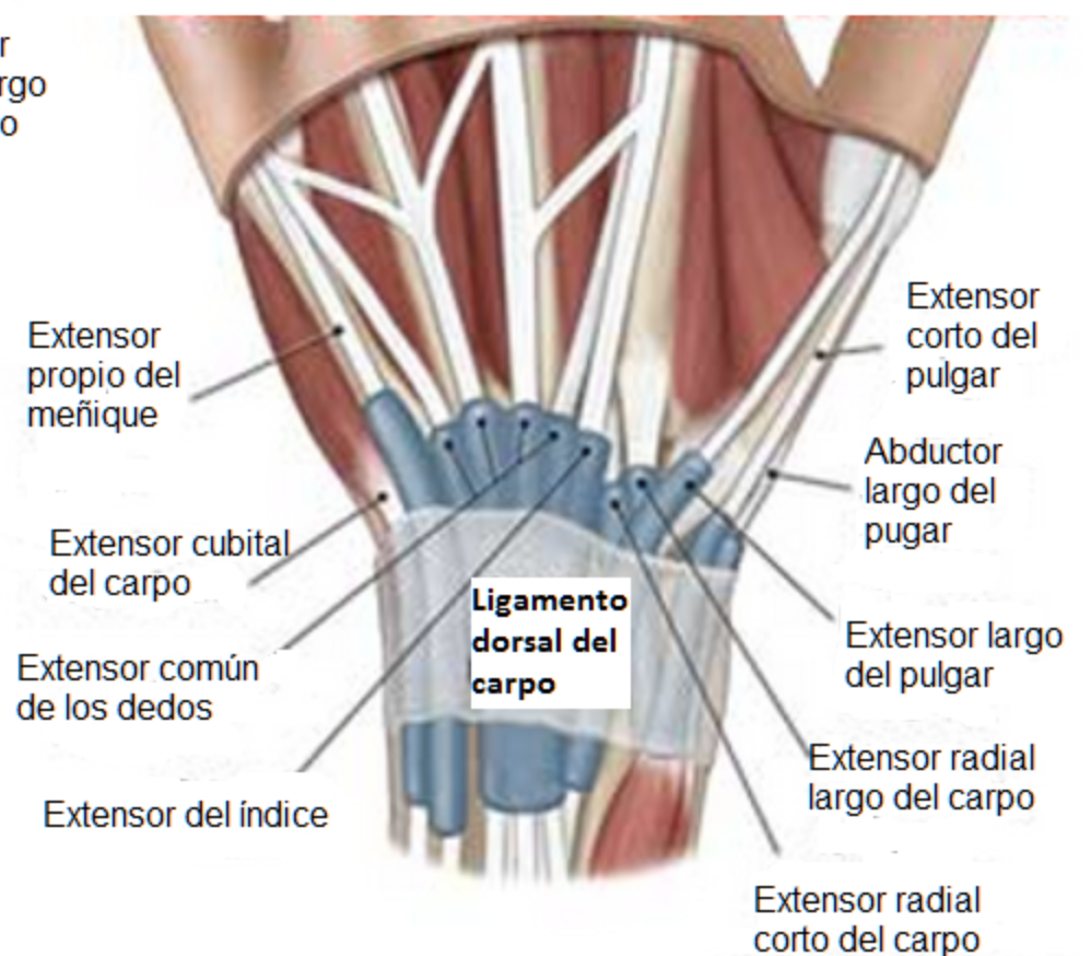Encantador Tendones De La Anatomía Del Pulgar Composición - Anatomía ...
