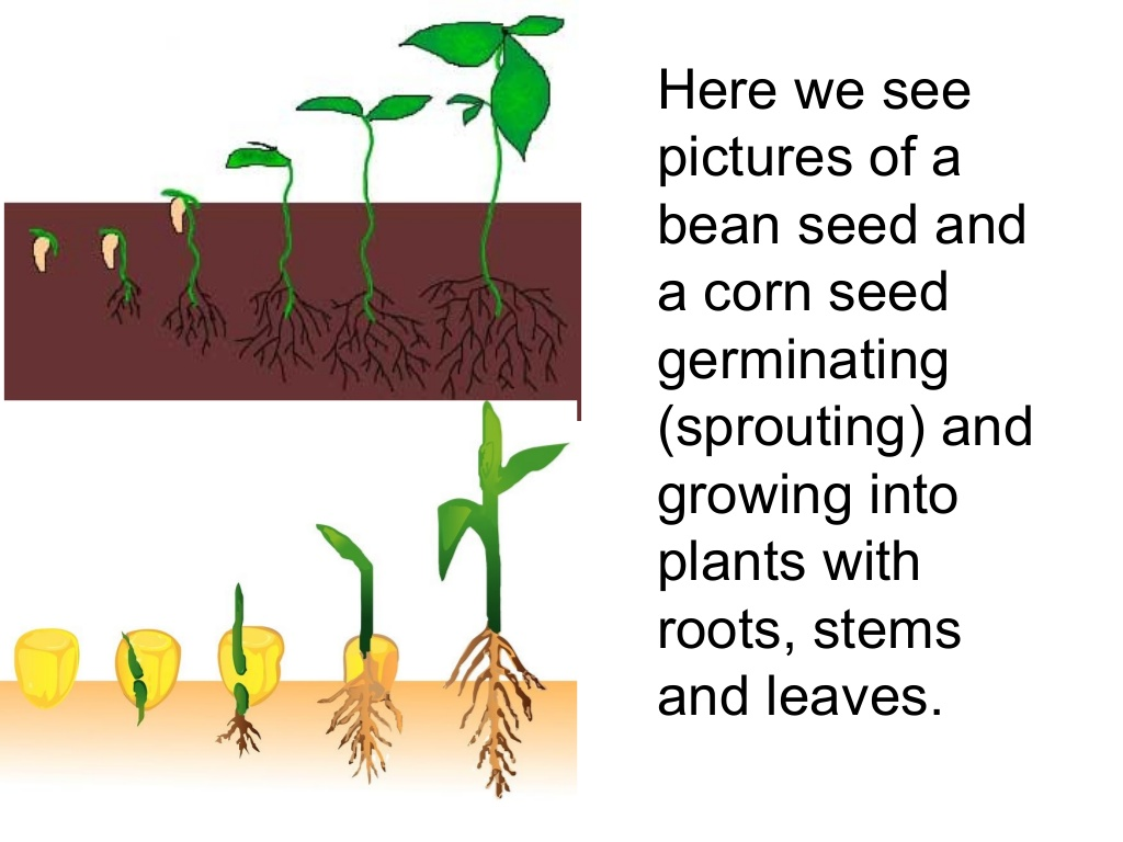 Parts of a seed worksheet plant clipart labels its part pencil parts of a seed worksheet anatomy of seed plants gallery human anatomy learning pooptronica