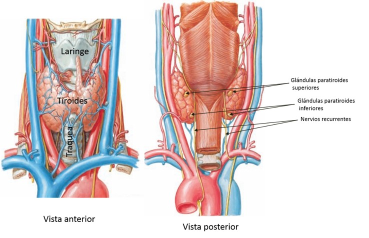 tiroides, paratiroides y pancreas.