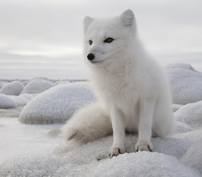 Tundra Arctic Fox In Summer HELP SAVE THE A...