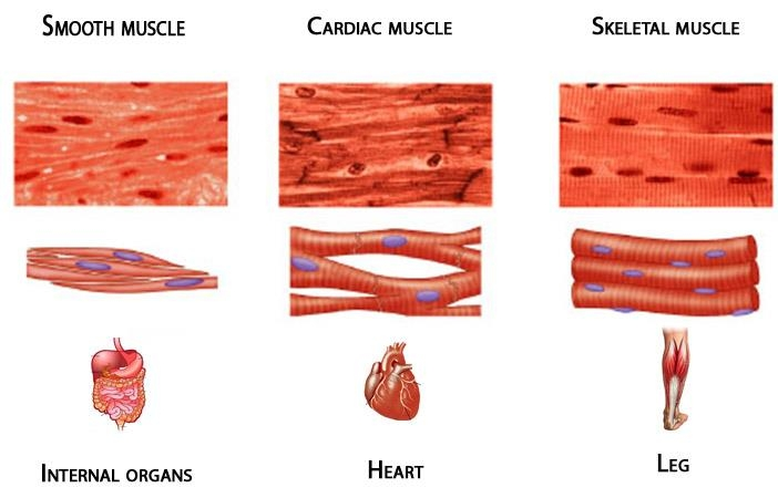 muscular system lesson plan, Muscles