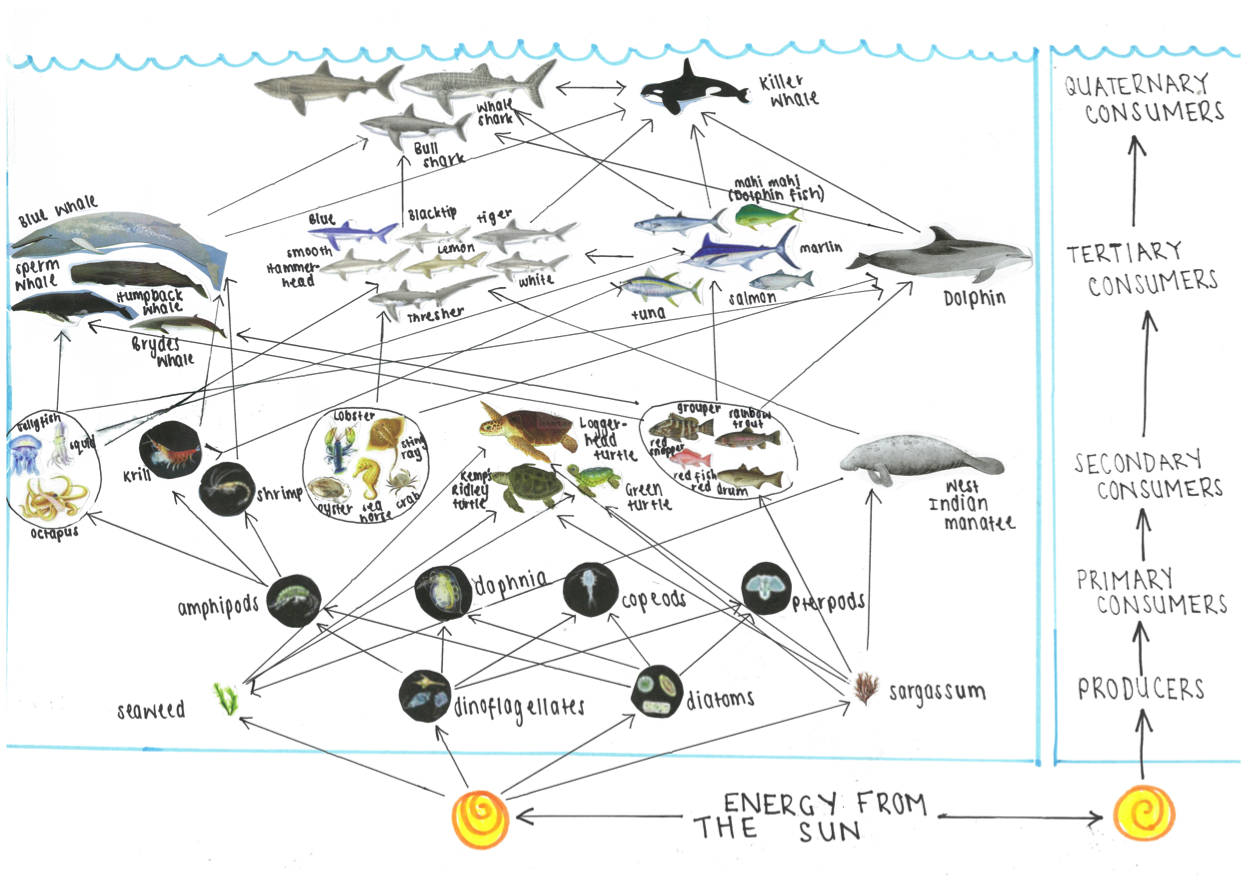 food web Discovering food webs research & explore the publications, figures, data, questions & answers from a vast knowledge base of researchers.