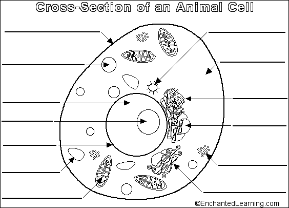 Animal Cell Coloring Sheet Cw science animal cell this is the