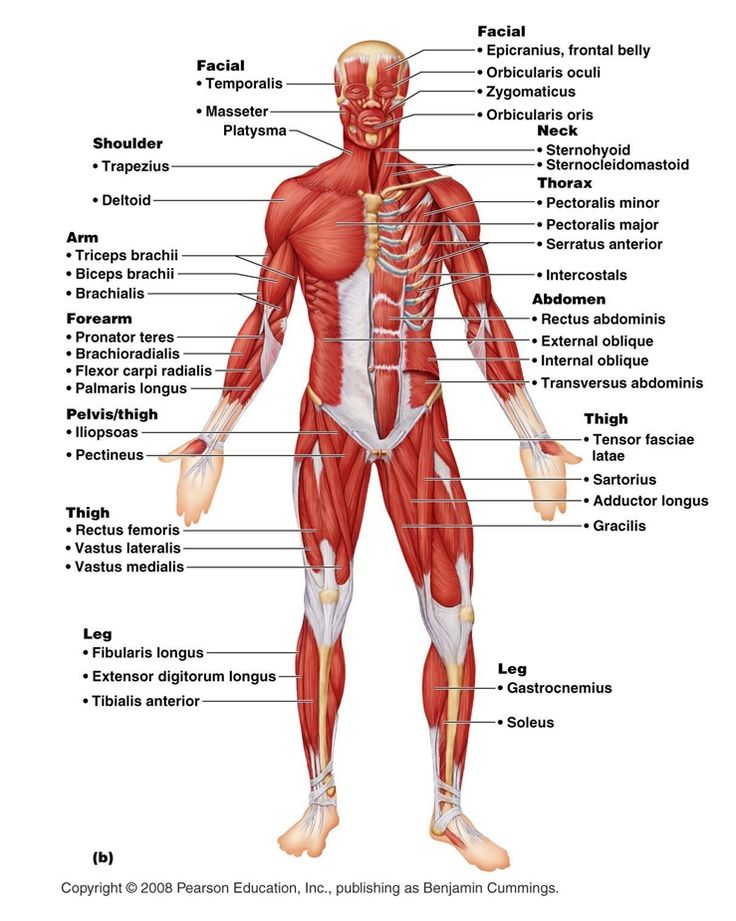 human body systems on emaze, Muscles